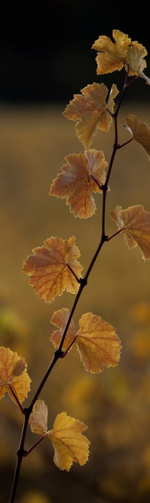 Vine with autumn leaves.